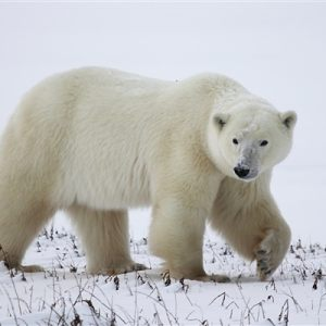 Portaits of a Polar Bear