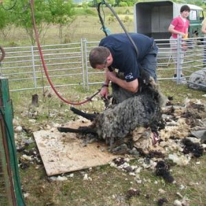 """MAY"" Shearing !!! Not an easy thing !!"