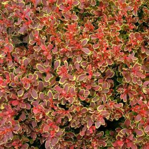 Barberry Golden Ruby™