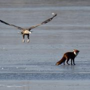 Eagle and Fox
