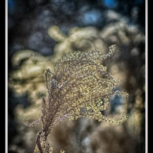 OUR GARDEN: MISCANTHUS IN BACKLIGHT