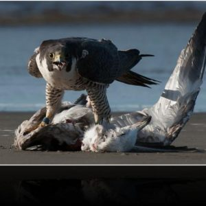 Peregrine Falcon P4 - The Kill